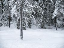 Frozen trees in the cold forest winter snow. Norway, Jan 2018: frozen trees in the cold forest winter snow Stock Images
