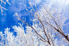 Frozen trees with cool blue winter sky Royalty Free Stock Photography