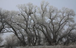 Frozen Trees and Eagle Silhouettes Royalty Free Stock Image