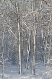 Frozen trees. In a forest, on a bright day stock image