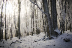 Frozen trees in forest win winter with sun shining Stock Photography