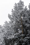 Frozen trees of pine Royalty Free Stock Images