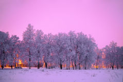 Frozen trees at pink background winter`s tale Stock Images