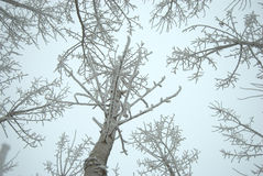 Frozen trees in winter. Looking upwards to frozen tree branches in winter Stock Image