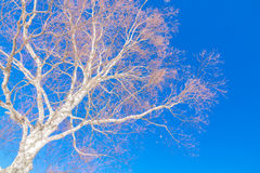Frozen trees in winter with blue sky. Stock Images