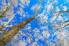 Frozen trees in winter with blue sky. Stock Photography