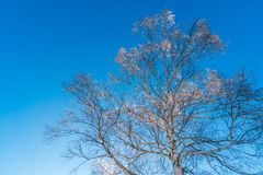 Frozen trees in winter with blue sky. Stock Image
