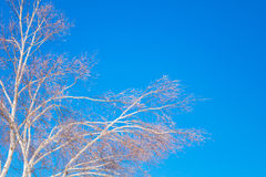 Frozen trees in winter with blue sky. Royalty Free Stock Photography