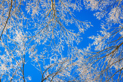 Frozen trees in winter with blue sky. Royalty Free Stock Image