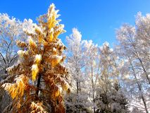 Frozen trees. Winter frozen trees with clear blue sky Stock Photography