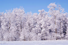 Frozen trees in the winter forest.  Stock Images