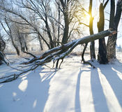 Frozen trees in winter season. Royalty Free Stock Image