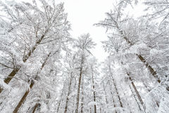 Frozen trees in wintertime covered with hoarfrost Stock Photos