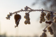 frozen twig Στοκ Εικόνες