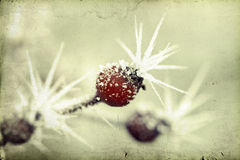 Frozen twig and frosen rosehip berries Royalty Free Stock Images