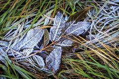 Frozen twig on grass Stock Photo