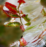 Frozen twig. Icy twig in autumn after ice rain Stock Photos