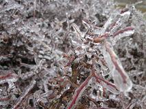 Frozen Twigs royalty free stock image