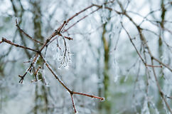 Frozen twigs Stock Photo