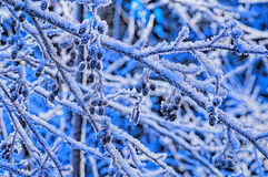 Frozen twigs in forest Royalty Free Stock Photo