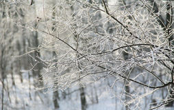 Frozen twigs Royalty Free Stock Images
