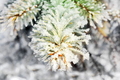 Frozen twigs of pine macro Stock Images
