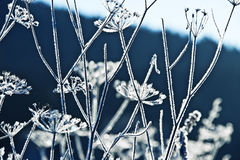 Frozen umbel plants Stock Photography