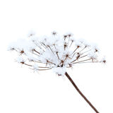 Frozen umbrella flowers with snow Royalty Free Stock Image