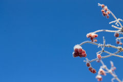 Frozen viburnum background Stock Photos