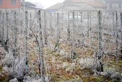 Frozen vineyard Royalty Free Stock Photography
