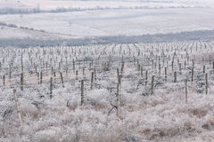 Frozen vineyards rows in winter. Moldova Stock Photo