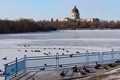 Frozen Wascana Lake and Saskatchewan Legislature with geese Royalty Free Stock Photo