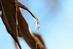 Frozen water drop on a leaf. Winter, spring background. Royalty Free Stock Images