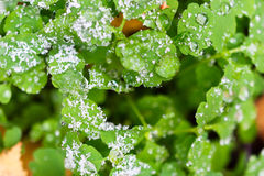 Frozen water drops on green foliage. Sprinkle with the first snow. Early winter Royalty Free Stock Photo