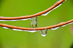 ICE SICKLE MELTING DROPS. Frozen water hanging from the leaves and stems of garden plants Royalty Free Stock Photos