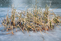 Frozen water and reed Royalty Free Stock Images
