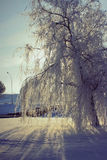 Frozen weeping willow Stock Photo