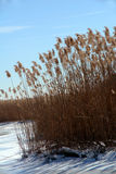Frozen Wetlands in Winter. Tall marsh grass and snow on this wetlands area in the winter Royalty Free Stock Image