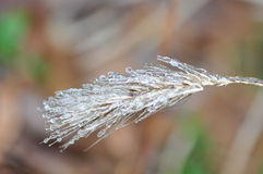 Frozen Wheat. Closeup of a stalk of wheat encased in ice Royalty Free Stock Photo