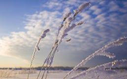 Frozen wheat ears thaw royalty free stock photo