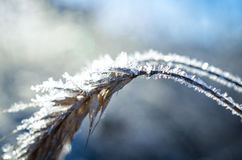 Frozen wheat grown with ice crystals Royalty Free Stock Images