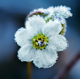 Frozen white flower. Hoar frost white flower nature, macro shot Royalty Free Stock Images