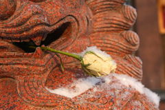 Frozen white rose Stock Image