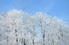 Frozen white trees on sky Stock Images
