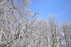 Frozen white trees on sky Royalty Free Stock Image