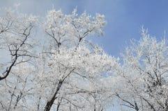 Frozen white trees on sky Stock Image