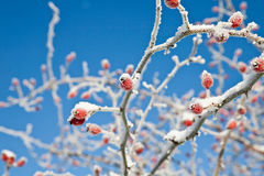 Frozen wild berries. Frozen wild rose berries in winter time Royalty Free Stock Photo