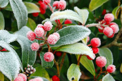 Frozen Wild Berries. Image of Winter morning Frozen Wild Berries covered in frost Stock Photography