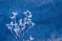 Frozen Wild Flowers In Autumn Morning Royalty Free Stock Images