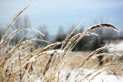 Frozen Wild Grass Royalty Free Stock Photos